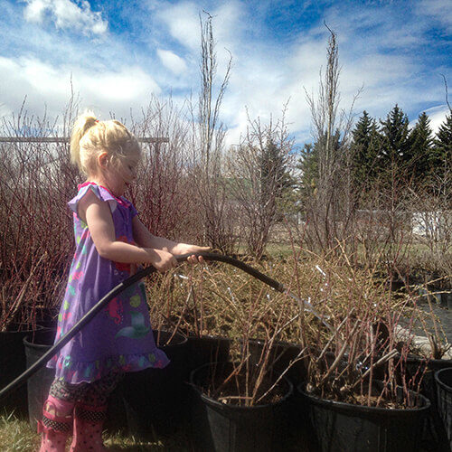 A young girl waters potted shrubs at Bow Point Nursery