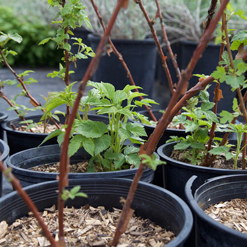 potted shrubs ready for sale from Bow Point Nursery
